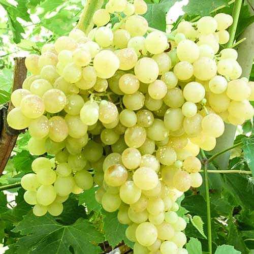 Картинки для детей виноград – Раскраска виноград – Всё о ...